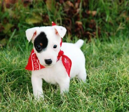 Jack Russell Terriers: