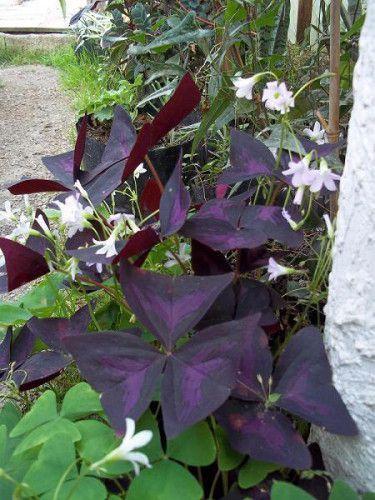 Foliage plants - Oxalis Regnellii .JPG Love plant or Purple Shamrock