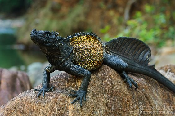 Hydrosaurus Amboinensis The Impressive Sailfin Lizard Is - Majestic dragon lizard caught playing leaf guitar indonesia