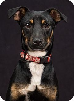 Chicago, IL - Manchester Terrier/Rat Terrier Mix. Meet Fig, a dog for adoption. http://www.adoptapet.com/pet/15845996-chicago-illinois-manchester-terrier-mix
