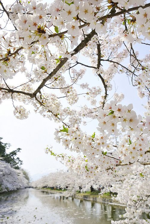 Pin By Monica Francis Travel Blogge On Itt A Tavasz Beautiful Flowers Flowering Trees Flowers