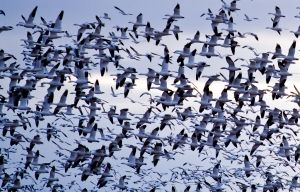 65,000 snow geese at Middle Creek Wildlife Management Area in PA
