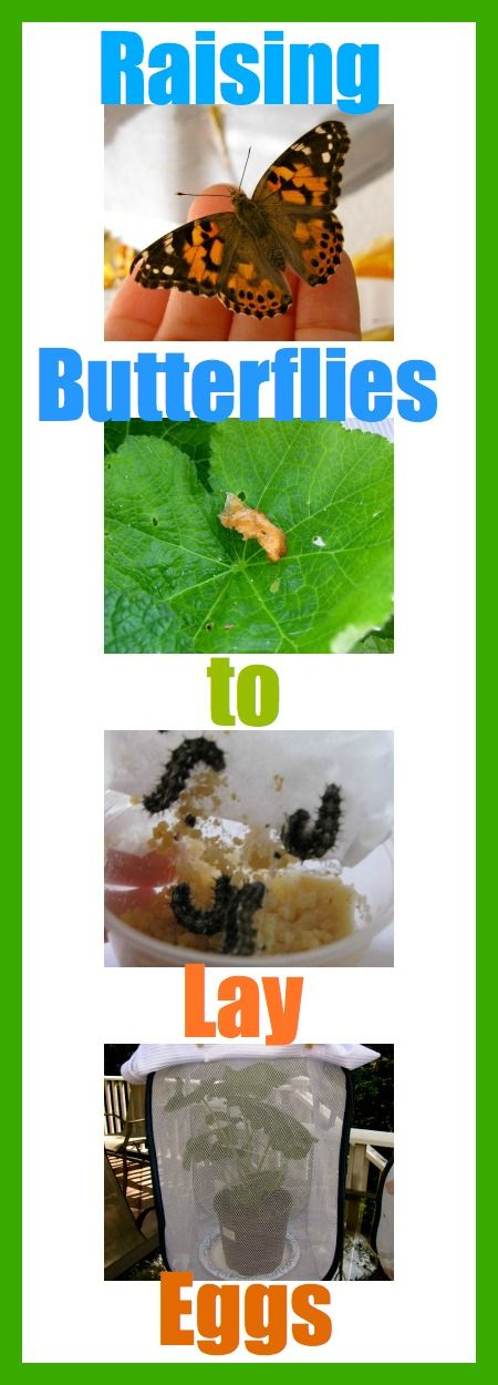 How to raise butterflies to lay eggs and see the full cycle: egg, caterpillar, chrysalis, butterfly.
