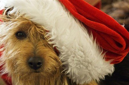 Norwich Terrier love the excitement of Christmas...the costume - not so much!