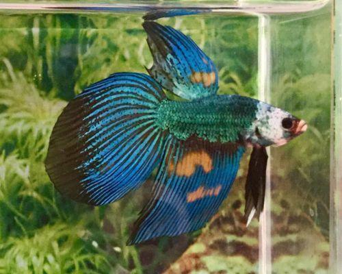 Pin By Samantha Jackson On Fish Fish Betta Betta Fish