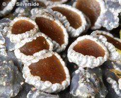 Lichen Glossary (a-f) (Alan Silverside's photographs of lichens)
