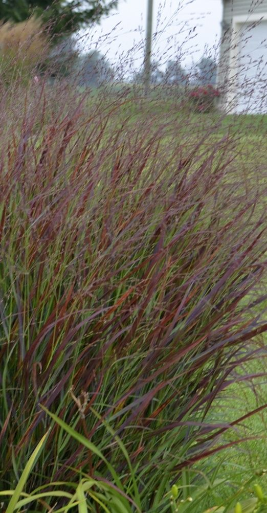 The Green Tips Of This Perennial Grass Turn Burgundy Red Each