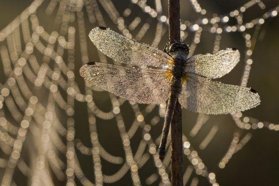 Libelle im Netz To buy this picture please visit www.3aART.de Zum Erwerb dieses Bildes besuchen sie bitte unsere Hompage www.3aART.de