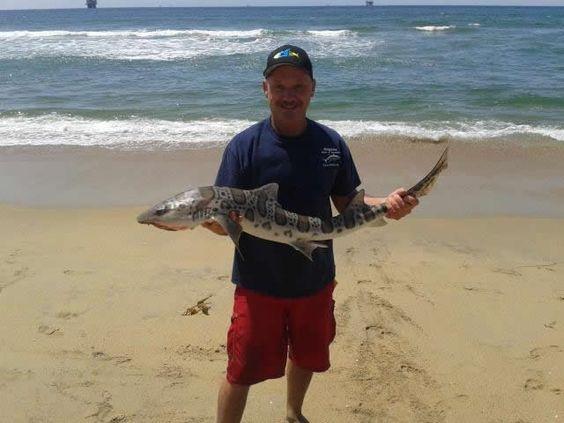 Bolsa chica surf fishing leopard shark california surf for Surf fishing for sharks
