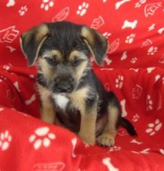 Booger is an adoptable Labrador Retriever Dog in Raleigh, NC. Booger is a 12 week old, male boxer/lab/shepherd mix. He was born in the woods with his syblings, mommy had dug a den at the base of a hol...