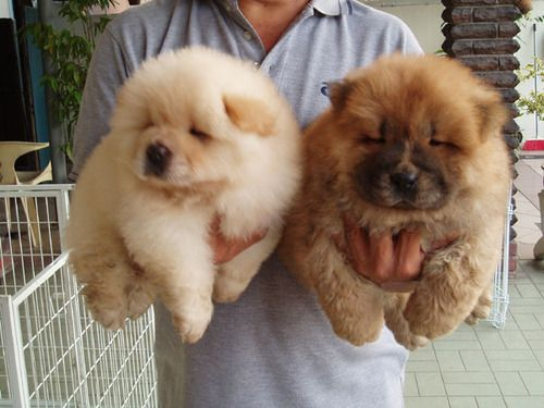 Cute Chow Chow puppies. They're so fluffy!