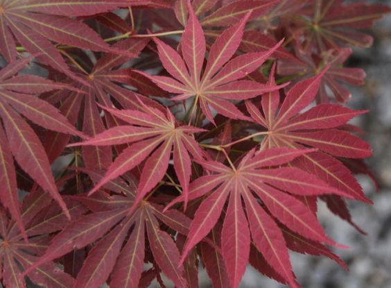 Davidsans Japanese Maples