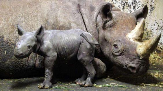 new baby rhino in Leipzig Zoo