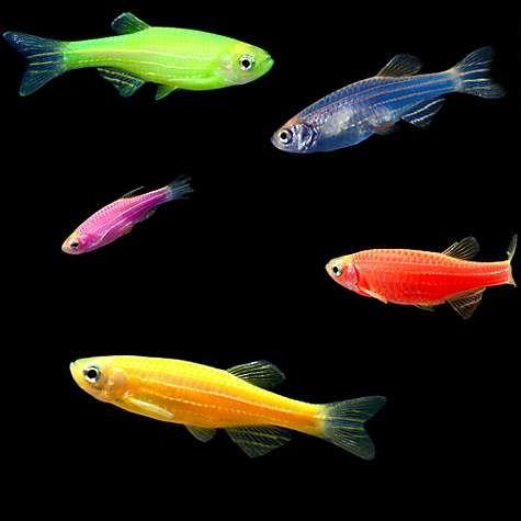 5 Pack Assorted Danio Glofishs For Sale Order Online Petco Glofish Glow Fish Pet Fish