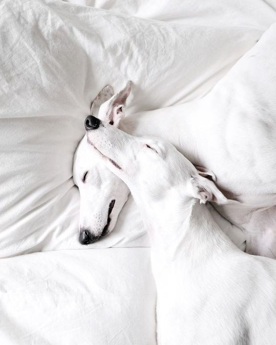 Repinned - Image of Whippets (Dog Breed) these Whippets are beautiful! #whippet #dogbreed