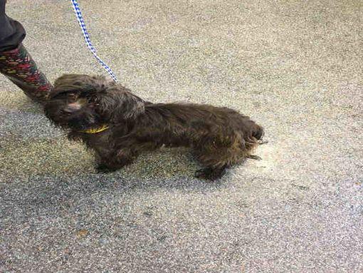Toledo Oh Yorkie Yorkshire Terrier Meet Maizey A Pet For Adoption Yorkshire Terrier Yorkie Terrier