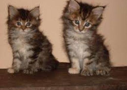FilhoteS Maine coon | Filhotes de Cachorro e de Gato, encontre aqui seu filhote…