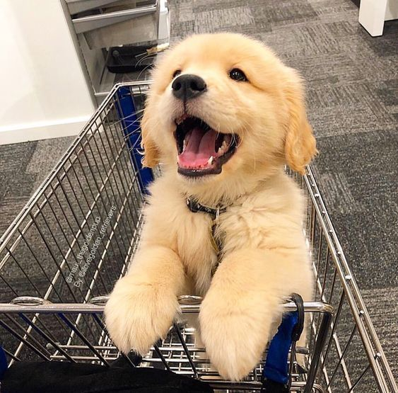 A Sweet Smile Of A Golden Retriever Puppy Cute Baby Animals