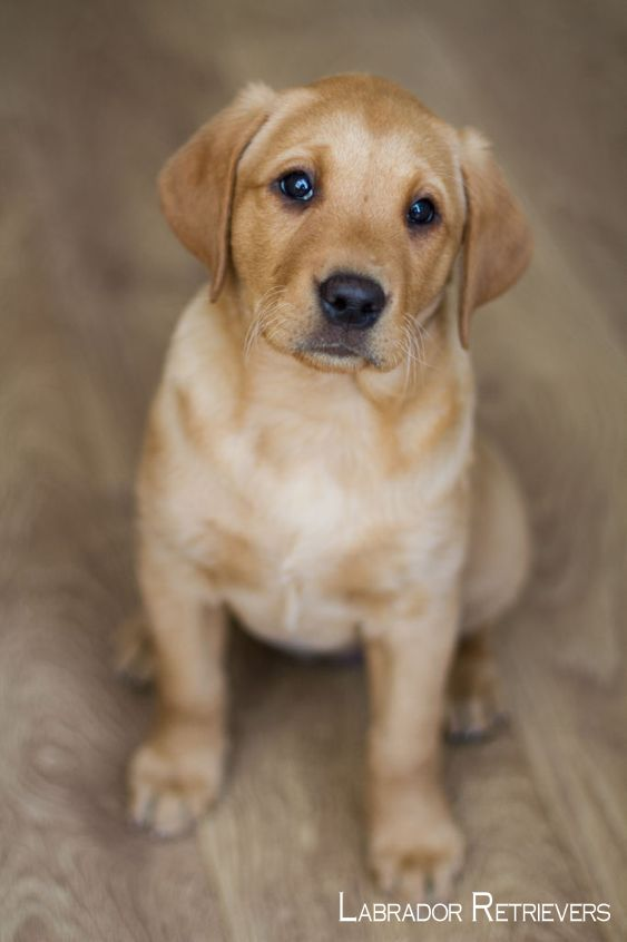 Labrador Retriever Intelligent And Fun Loving Labrador Retriever