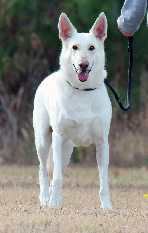 Dakota Solid White German Shepherd Very Beautiful White