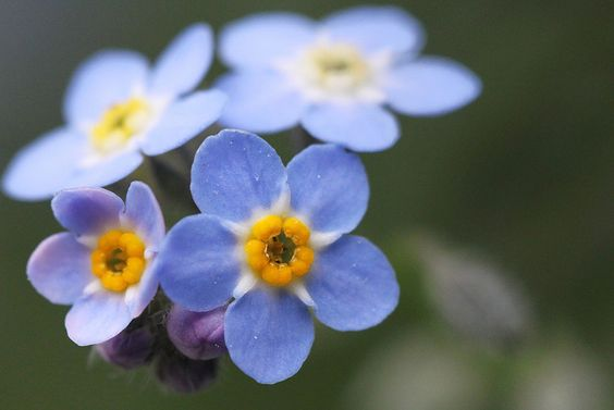 """Am I Blue? A Forget-Me-Not. Isn't it lovely?! Such delicate, little flowers. I love seeing a field full of these things. They may be small, but they bring me great joy. One can't possibly be blue around these things. Silly, huh?"" Photo by dtarpennation, via Flickr."