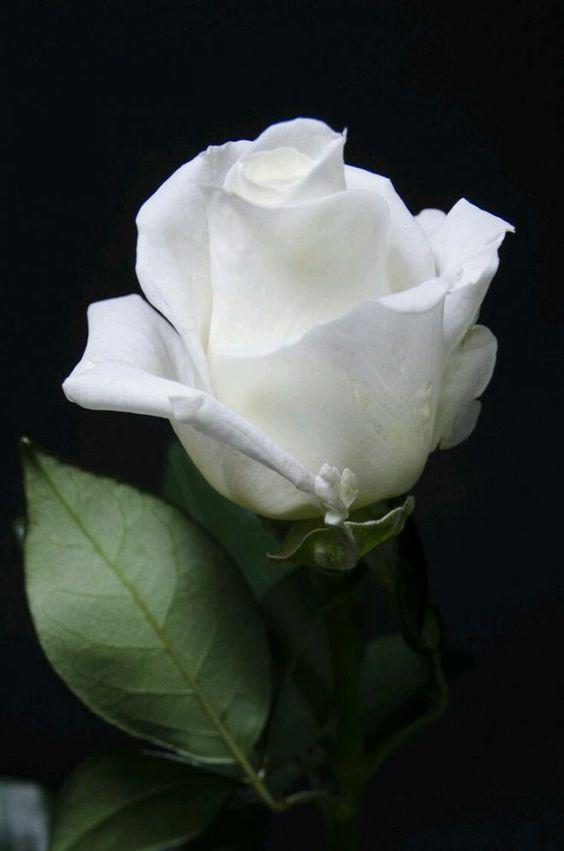 Rose Gardening aqua-isabelle.tumblr.com - ????