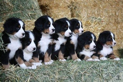 Bernese Mountain Dog Lifespan Why The Short Life Expectancy