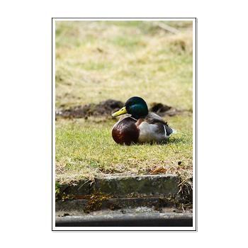 Mallard, Duck, Poster, Print, Goldfishdreams Photography, Cute, Adorable , Art, Wall Art, Nature. Animal, Bird,