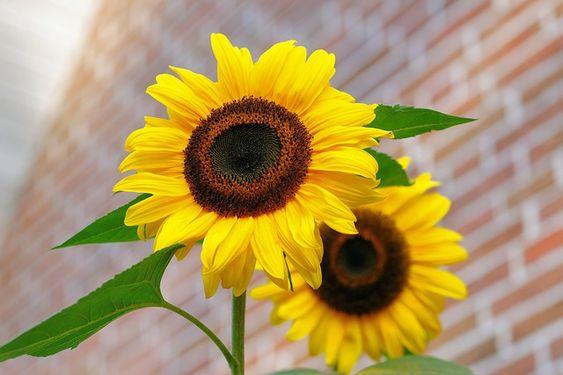 Free Photo: Sunflower, Flowers, Bright, Yellow - Free Image on Pixabay - 448654