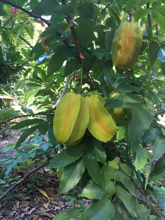 Carambola tree found at Historic Shadow Poi