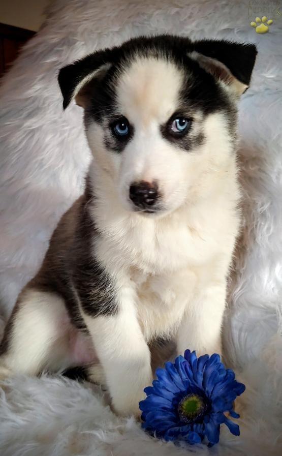 Pin By Karmen Ciber On Doggy Pomsky Puppies Puppies Pomsky
