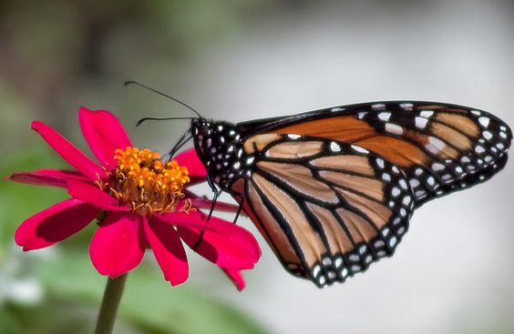 Monarch Butterfly in Summer