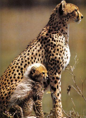 Cheetah and cub. Young cheetah cubs have a dense mane of ...