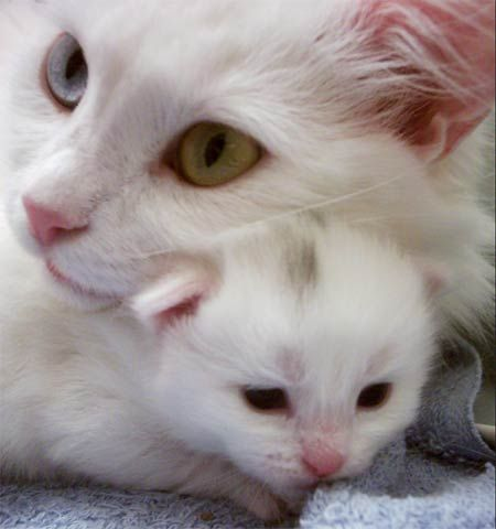 turkish angora cat with its baby kitten