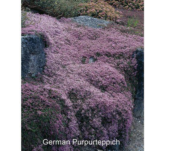 Roberta's 8-pc. Trample Me Flowering Creeping Thyme