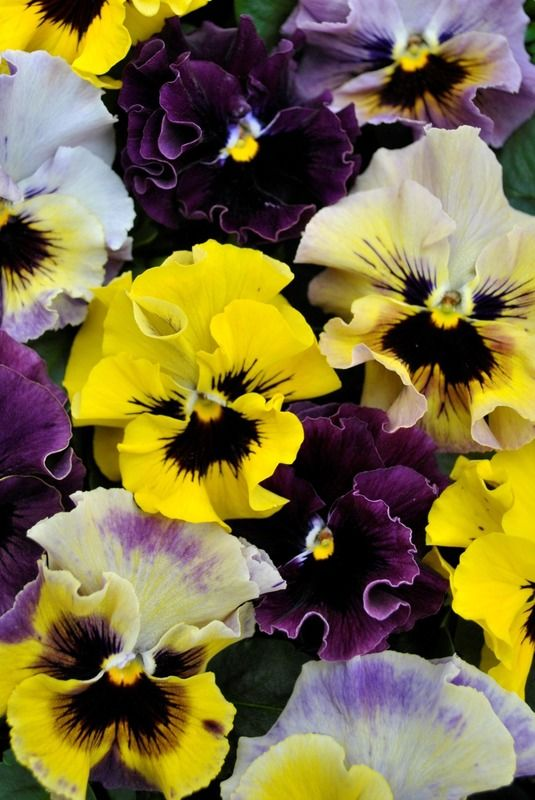 Viola Frizzle Sizzle Mini Mix In 2020 Pansies Greenhouse Flowers