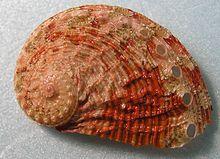 shell of Haliotis squamosa