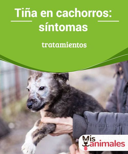 Tiña En Cachorros Síntomas Y Tratamientos Mis Animales Cachorros Cuidar Animales Mascotas