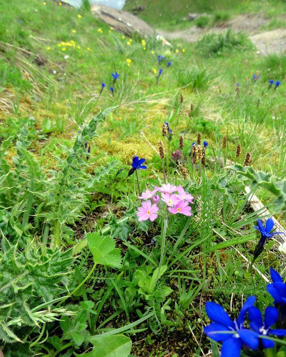 Die Mehlprimel (Primula farinosa) zusammen mit dem Bayerischen Enzian Gentiana bavarica) an einem sickerfeuchten Hang in den Bayerischen Alpen.