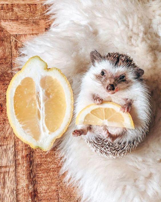This Hedgehog's Life Is More Interesting Than Mine: Meet Cheerful Animal Named Herbee, фото № 21У этого ежа жизнь интереснее, чем у меня: жизнерадостный зверек по имени Herbee, фото № 21