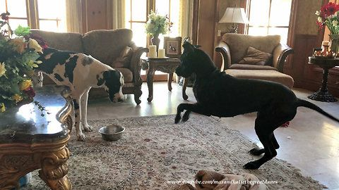 Ellie The Great Dane Is Such A Funny Impatient Girl Watch And