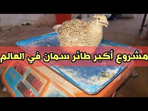 مشروع تربية السمان جومبو أكبر طائر سمان في العالم من مزرعة الاخ هشام Youtube The Creator