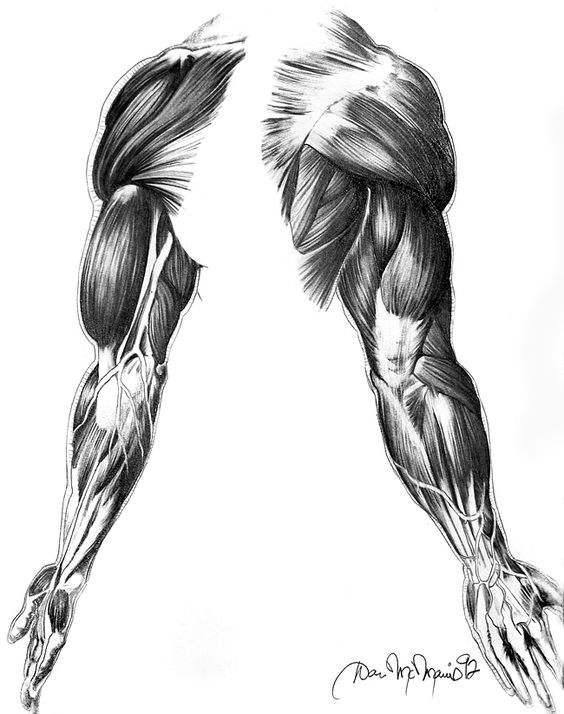 Muscles of the Arm by DanMcManis on deviantART
