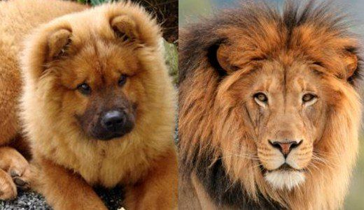 Seven Dogs That Look Like Lions Chow Chow Dogs Big Dog Breeds Dogs