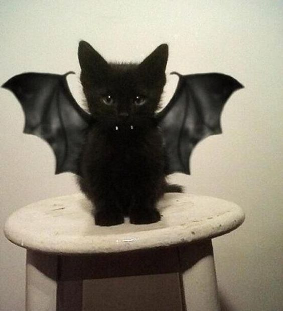 It's that time of year again.. and what is more adorable than a black bat kitten!?: