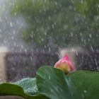 Lonely lotus in the rain.