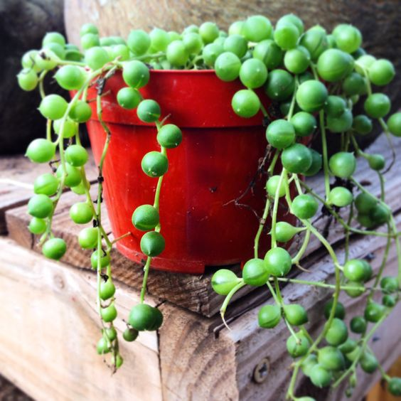 String of Pearls at http://hillcountrywatergardens.com/
