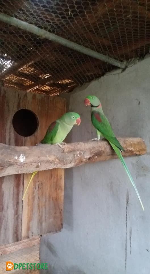 Kashmiri Raw Breeder Pair For Sale Birds For Sale Breeders Buy Birds