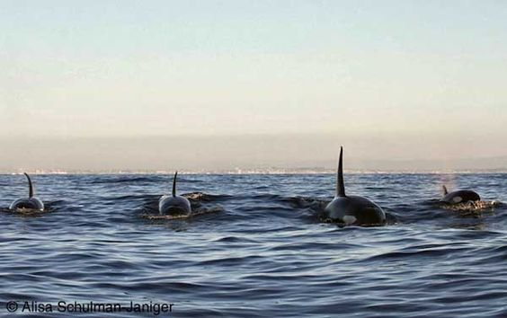 Wild orcas put on a show SeaWorld will never have. Click pic to read article and see vid. Orcas belong in the ocean not in a cement pool!