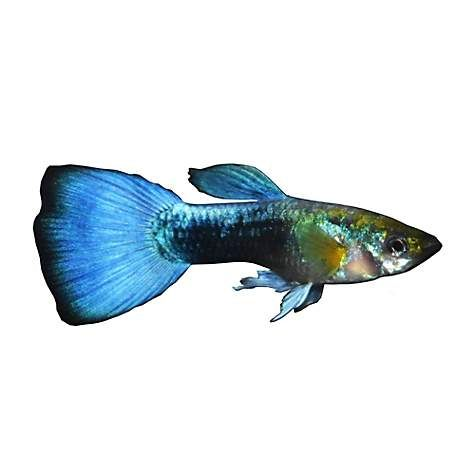 Male Blue Neon Guppy Extra Large Petco Guppy Neon